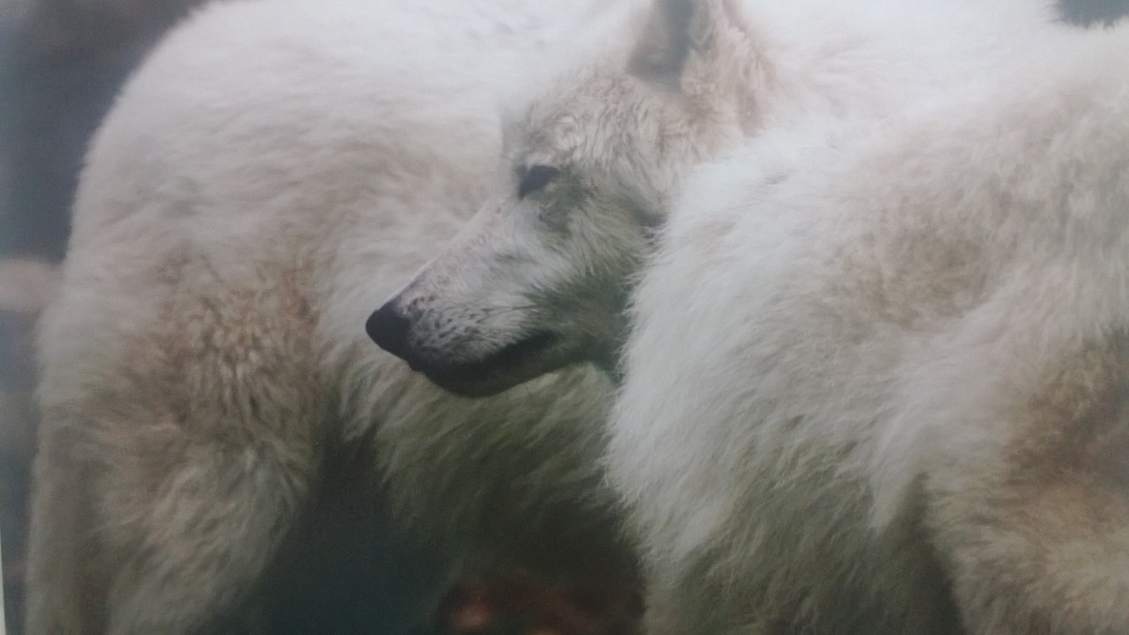 wolf cluster